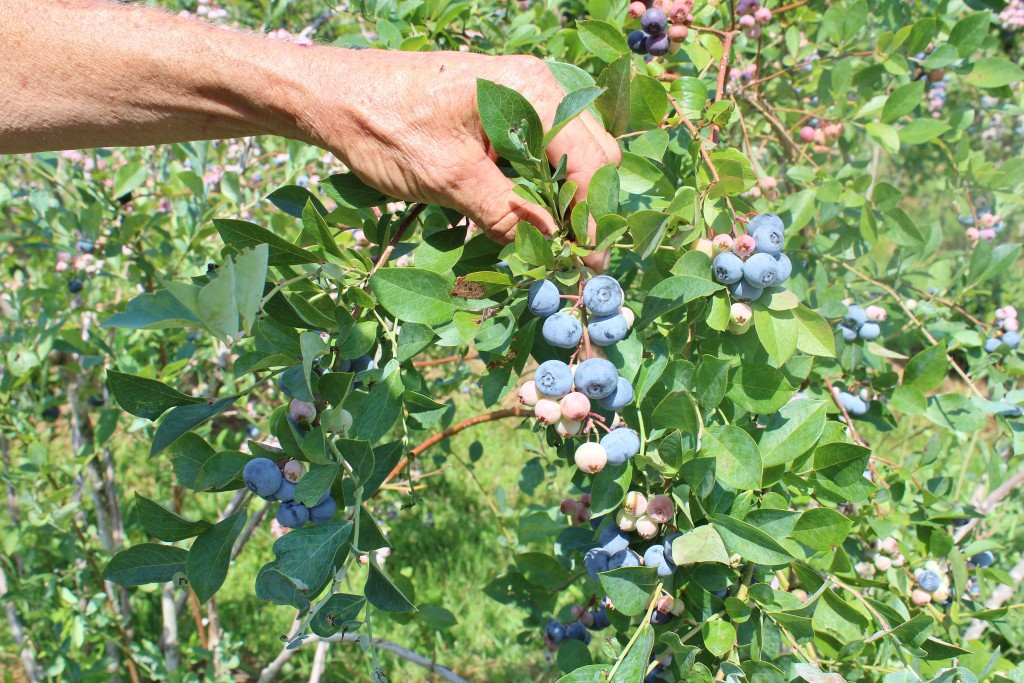 mix of ripe and non-ripe blueberries